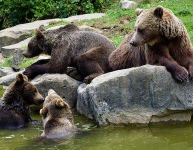 Nadleśnictwo Baligród pokazało niedźwiedzią rodzinkę. Nagranie wyjątkowo...