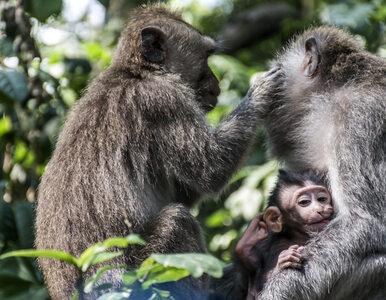 Małpa porwała 12-dniowe dziecko. Ugryzienia okazały się śmiertelne