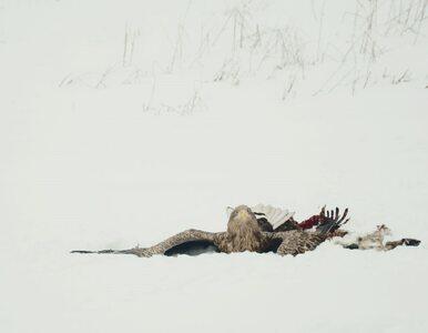 Na polu znaleziono konające bieliki. Co mogło się im stać?