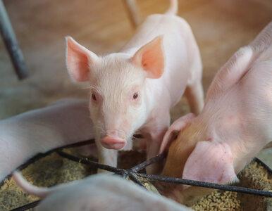 Afrykański Pomór Świń największym problemem polskiej branży mięsnej