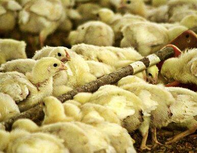 Afera dioksynowa: 4700 farm nie może sprzedawać, rolnicy chcą odszkodowań