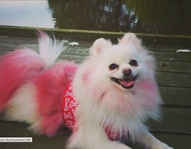 Farbowany pies Harvey Moon robi furorę w internecie