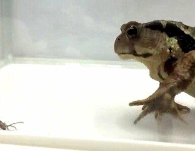 Naukowcy nagrali niesamowitą scenę. Ropucha pożera chrząszcza, a ten......