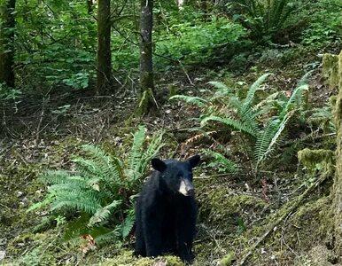 Turyści dokarmiali niedźwiedzia, żeby zrobić z nim selfie. Zwierzę...