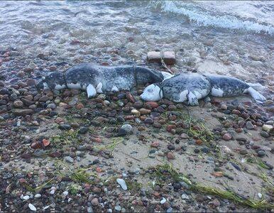W Gdyni ktoś zabił dwie foki. Sprawę zbada prokuratura