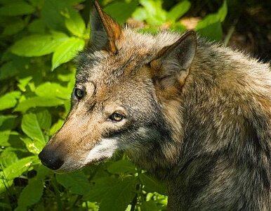 Słowacy zastrzelą chronione polskie wilki?