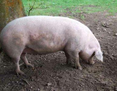 Tusk: Polskie mięso jest zdrowe. To problem z blokadą psychiczną