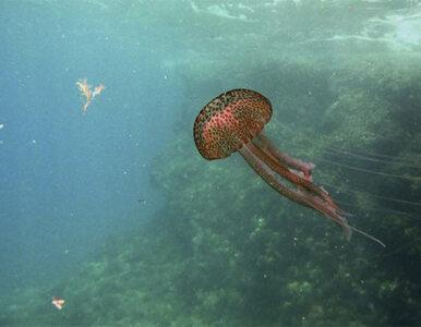 """11 ton groźnych meduz usunięto z plaż. Służby mówią o """"inwazji"""""""
