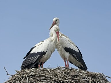Dlaczego bociany odleciały w tym roku wcześniej? Ornitolodzy wyjaśniają