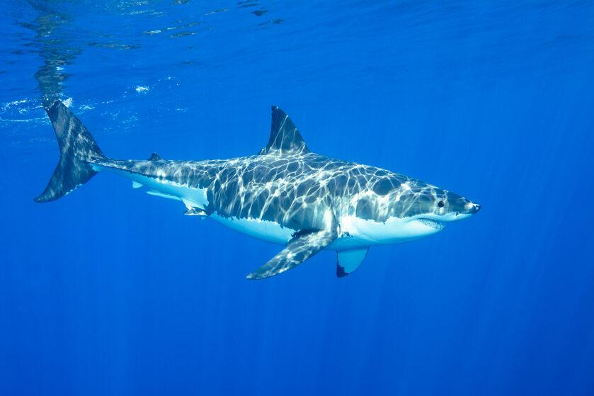 Rekin, zdj. ilustracyjne
