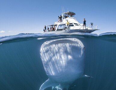 Ogromny rekin wielorybi przepłynął tuż pod statkiem pełnym turystów....